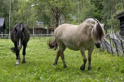 To hester på sommerbeite i Friluftsmuseet