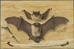 Trompe l'oeil; två på en brädvägg med spikar upphängda läder
