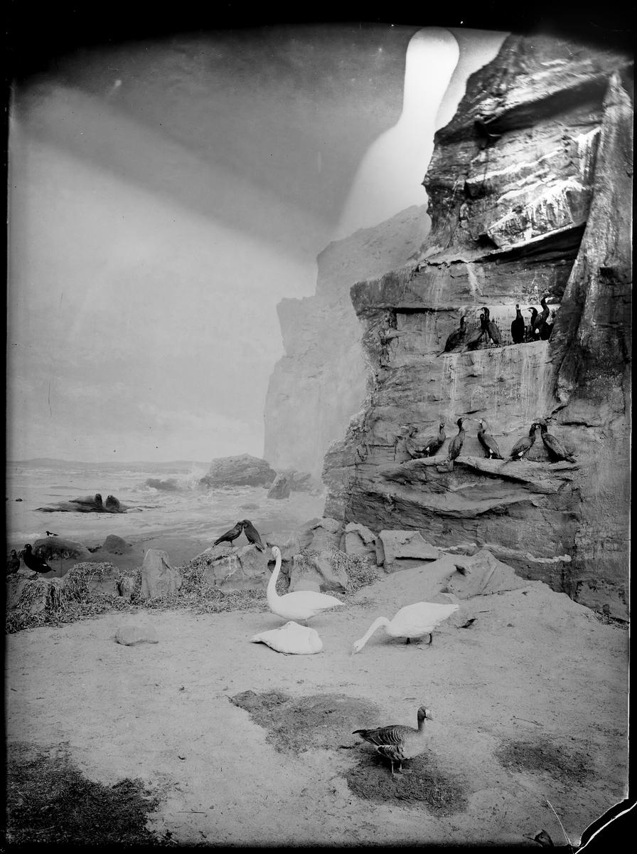 Diorama från Biologiska museets utställning om nordiskt djurliv i havs-, bergs- och skogsmiljö. Fotografi från omkring år 1900. Biologiska museets utställning Svan Sångsvan Cygnus Cygnus (Linnaeus) Korp Corvus Corax (Linnaeus)