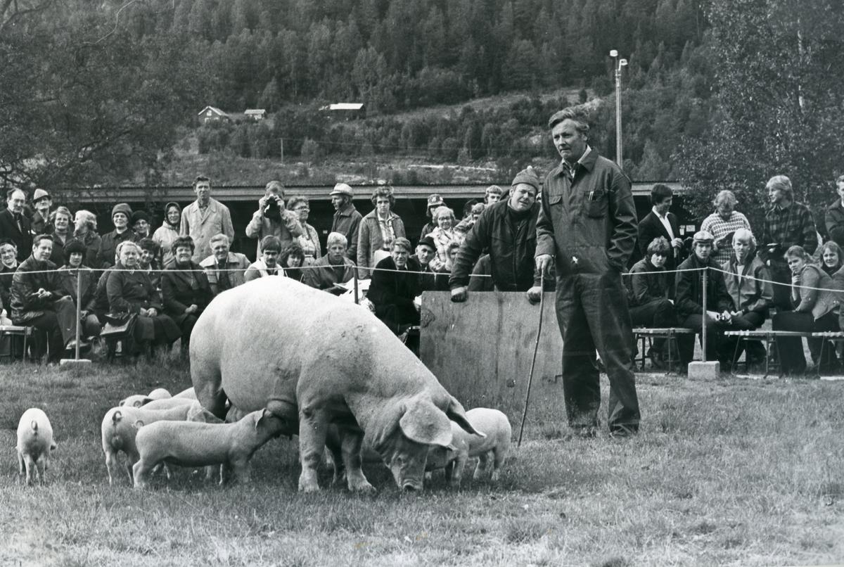 Asbjørn Nordbø frå Siljan mønstra purke med ungar. Hjelpemannen er Ole Johan Hals frå Kviteseid.
