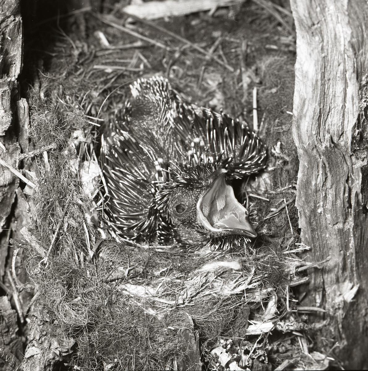 Nio dygn gammal är gökungen som ligger i fågelboet och ropar efter mat. Ungen har fått begynnande fjäderdräkt och den stora fågelungen tar upp nästan all plats i boet.