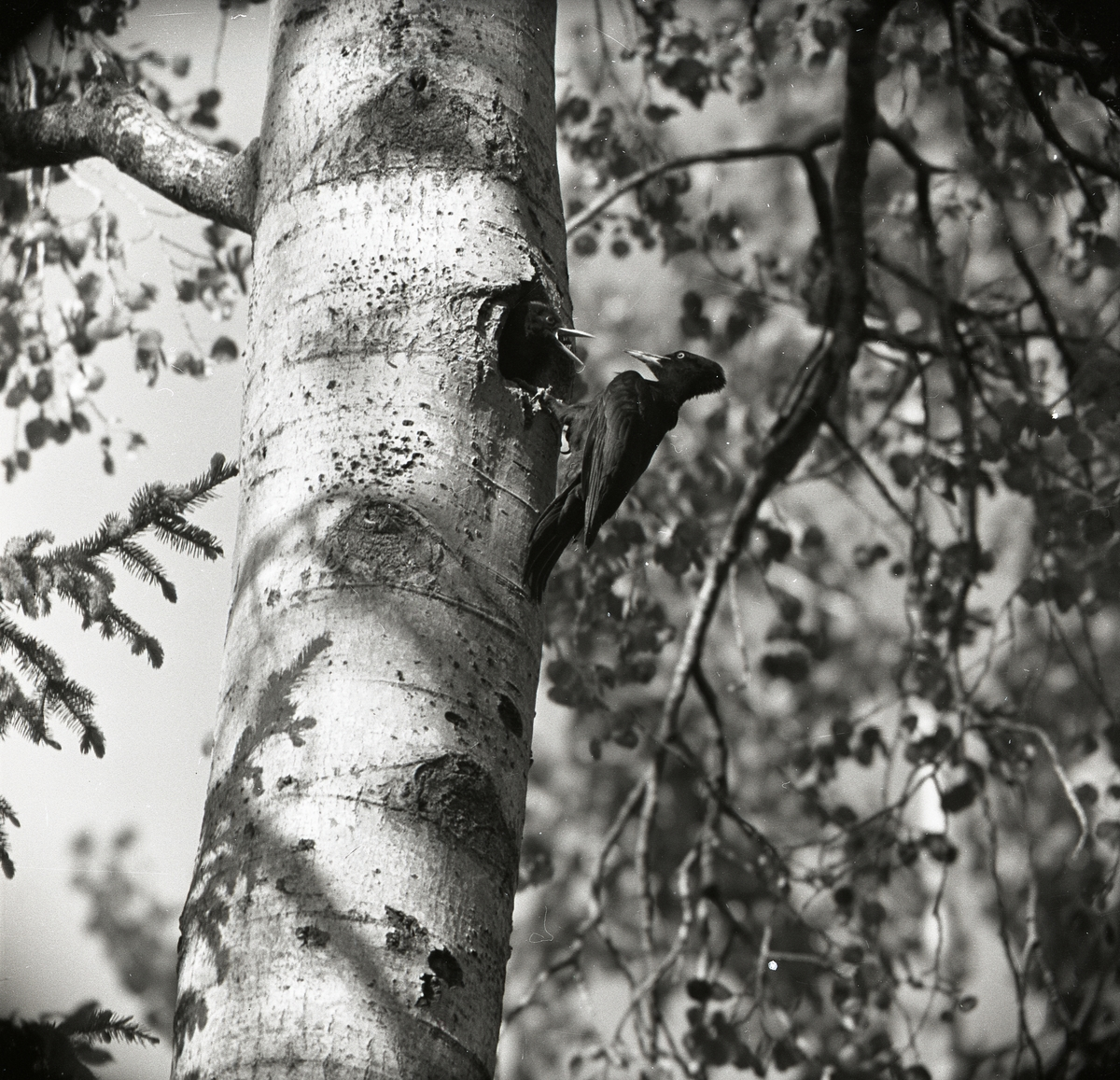 En ihållighet inuti ett träd har blivit hem för två spillkråkor. Den ena spillkråkan hänger utanpå trädet med fötterna greppade runt hållighetens kant. Andra fågeln ligger i trädet med gapande näbb riktad mot sin fågelfrände. Trädets omgivning rymmer lövverk, grenar och grankvistar.