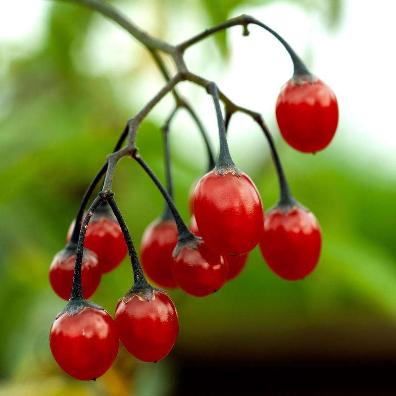 Klase med røde bær som henger ned.