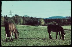 Hester på beite.