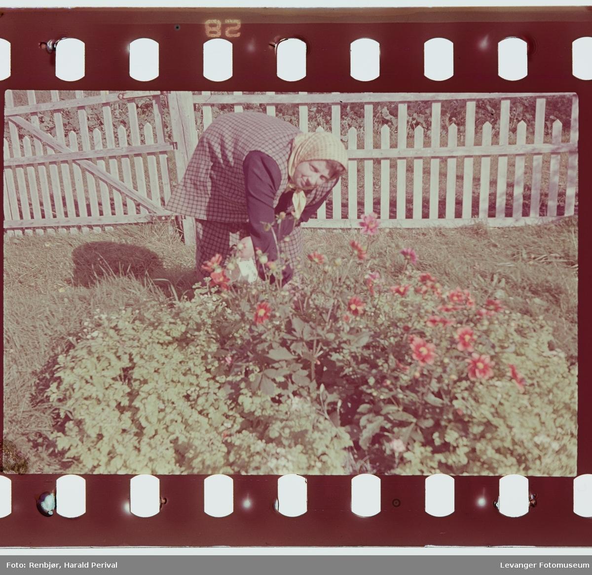 Magnhild Renbjør steller i blomsterbedet.