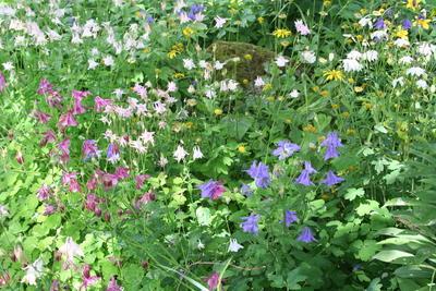 Akeleie (Aquilegia vulgaris) mange farger