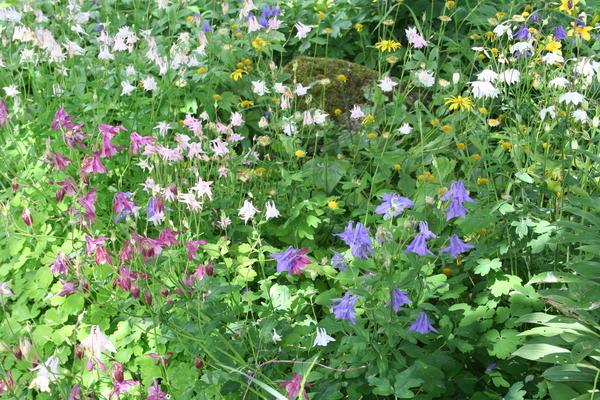 Akeleie (Aquilegia vulgaris) mange farger. Foto/Photo