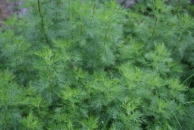 Artemisia_abrotanum.jpg
