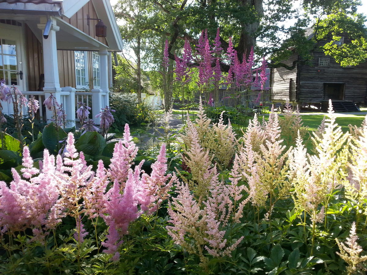 Sildrespir (Astilbe) (Foto/Photo)