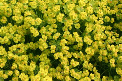 Sypressvortemelk/Euphorbia cyparissias