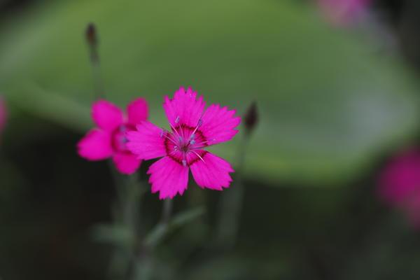 Engnellik/Dianthus deltoides. Foto/Photo