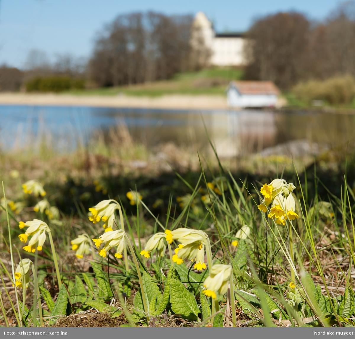 Tyresö slott, blommor i parken, vitsippa, gullviva, skilla, påsklija, kärleksört med mera