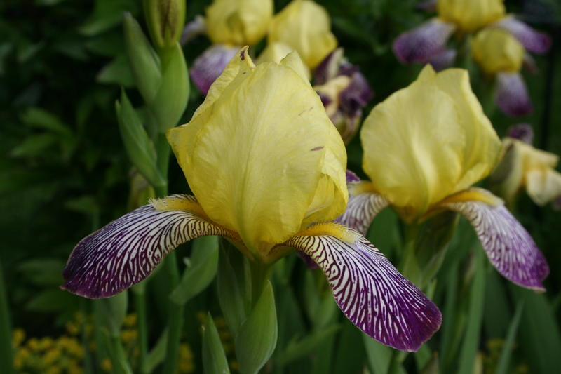 Iris 'Gracchus' /Hageiris/Iris germanica-gruppen (Foto/Photo)