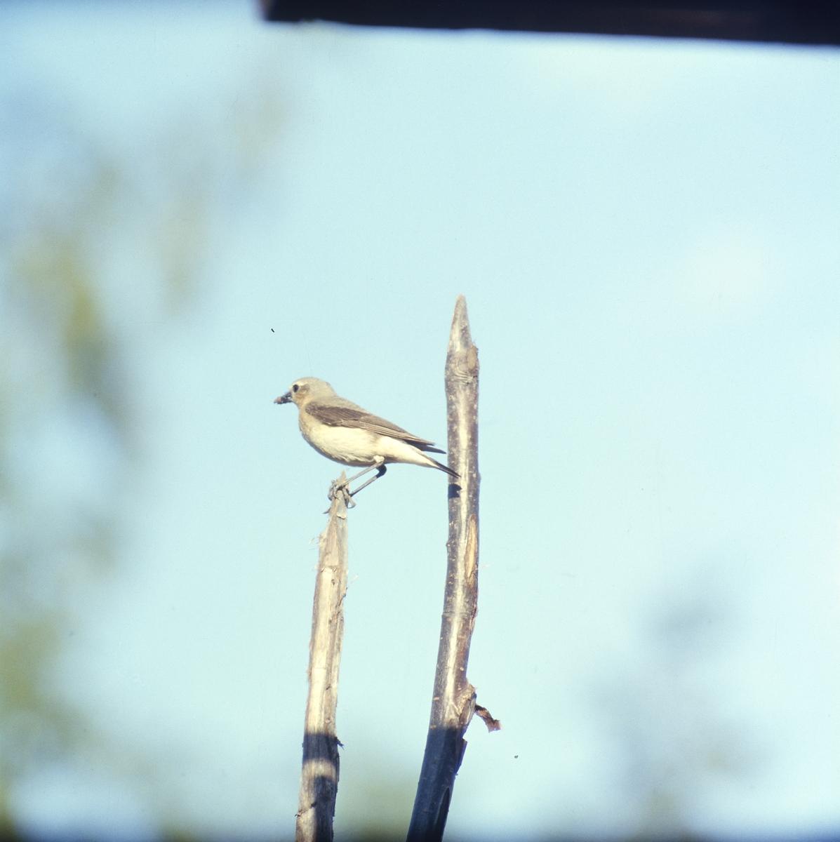 En fågel sitter i toppen av en gärdesgårdsstör.