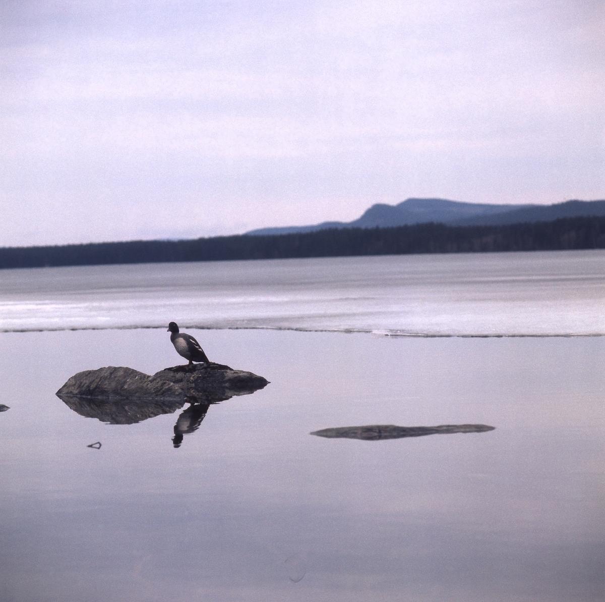 En knipa sitter på en sten i vattnet i närheten av en iskant. I bakgrunden syns berg och skog.