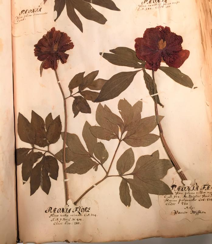 Disse pionene har vokst i den botaniske hagen i Leiden i Nederland på slutten av 1600-tallet. Her er den lille pionen til venstre, og på denne tida ble den kalt «Paeonia flore pleno rubro minore», noe som betyr noe slikt som «pion med fylt blomst, rød og liten». Til høyre er et eksemplar av den vanlige røde bondepionen Paeonia 'Rubra Plena', som betyr «rød, fylt pion» (Foto/Photo)