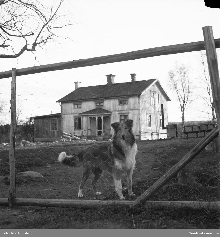 Svedsgårdens kennel i Svarvarböle, Söråker, med raserna collie och afghan. Mannen på bilderna är lantbrukare Per Sved.