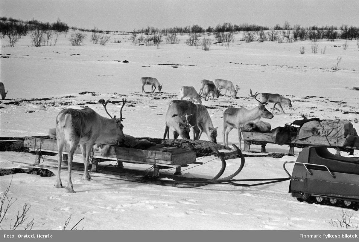 """Postfører Mathis Mathisen Buljo, bedre kjent som """"Post-Mathis"""" i samiske kretser har stoppet hos reindriftssamer på vidda. På bildet har fotografen fanget reinsdyrflokken som forsyner seg av medbrakt fõr som ligger i sleden.   Fotograf Henrik Ørsteds bilder er tatt langs den 30 mil lange postruta som strakk seg fra Mieronjavre poståpneri til Náhpolsáiva, videre til Bavtajohka, innover til øvre Anárjohka nasjonalpark som grenser til Finland – og ruta dekket nærmere 30 reindriftsenheter. Ørsted fulgte «Post-Mathis», Mathis Mathisen Buljo som dekket et imponerende område med omtrent 30.000 dyr og reingjetere som stadig var ute i terrenget og i forflytning. Dette var landets lengste postrute og postlevering under krevende vær- og føreforhold var beregnet til 2 dager. Bildene gir et unikt innblikk i samisk reindriftskultur på 1970-tallet. Fotograf Henrik Ørsted har donert ca. 1800 negativer og lysbilder til Finnmark Fylkesbibliotek i 2010."""
