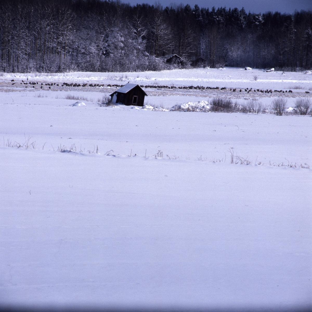 En flock med tranor efter snövädret, Söderaladalen 21 april 1988.