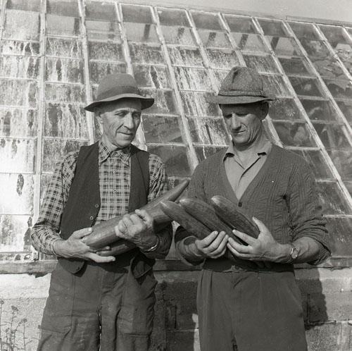 Gurkodling i Gnarp 9 september 1955.