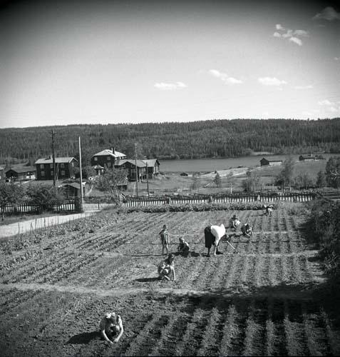 En vuxen och en grupp barn arbetar ute på odlingarna. Unga Odlare 1948 - 1949.