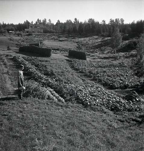 En man vid odlingar och hässjor.