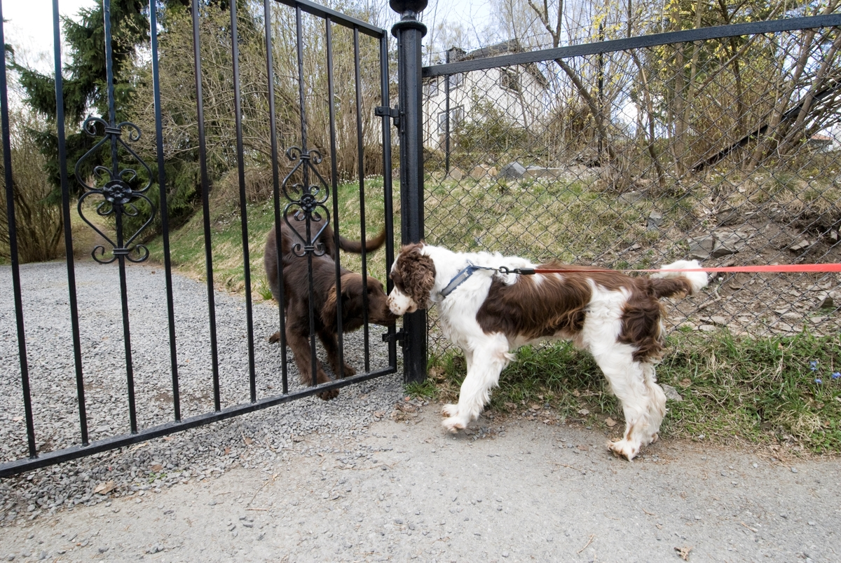 Hunden Balder på tur hilser på en annen hund bak et gjerde.
