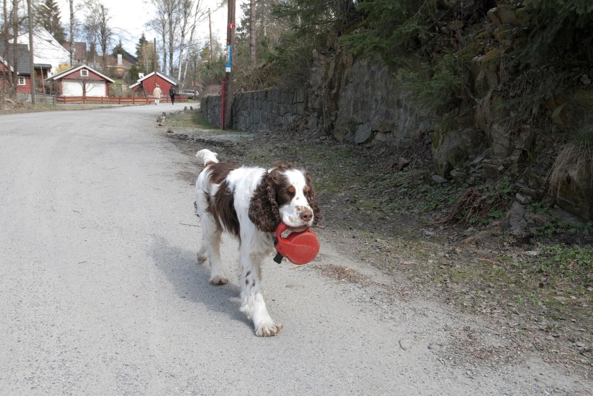 Hunden Balder på tur bærer sin egen line i kjeften.