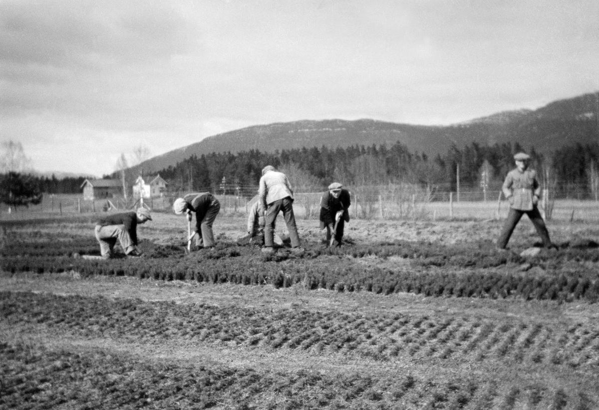 Fra Telemark planteskule på Håtveit ved Gvarv i Sauherad kommune.  Bildet viser seks menn som arbeidet med opptak av barrotplanter, som antakelig først hadde stått to år i såseng, for så å bli ompriklet til et plantekvarter, der de sannsynligvis sto i to nye år med noe større innbyrdes avstand, før de ble tatt opp og solgt.  Ved opptak av barrotplanter var det viktig å ikke skade røttene og å passe på at de ikke tørket.  Det som etter hvert fikk navnet Telemark planteskule ble etablert i 1914, da Bratsberg amts skogselskap leide 8,5 dekar jord av John Haatvedt til formålet.  Klimaet her egnet seg godt for skogplanteproduksjon for fylkets lavereliggende områder, og beliggenheten ved et sentralt trafikknutepunkt, sentralt i fylket passet skogselskapet bra.  Noe mer informasjon om virksomheten ved Telemark planteskule finnes under fanen «Opplysninger».