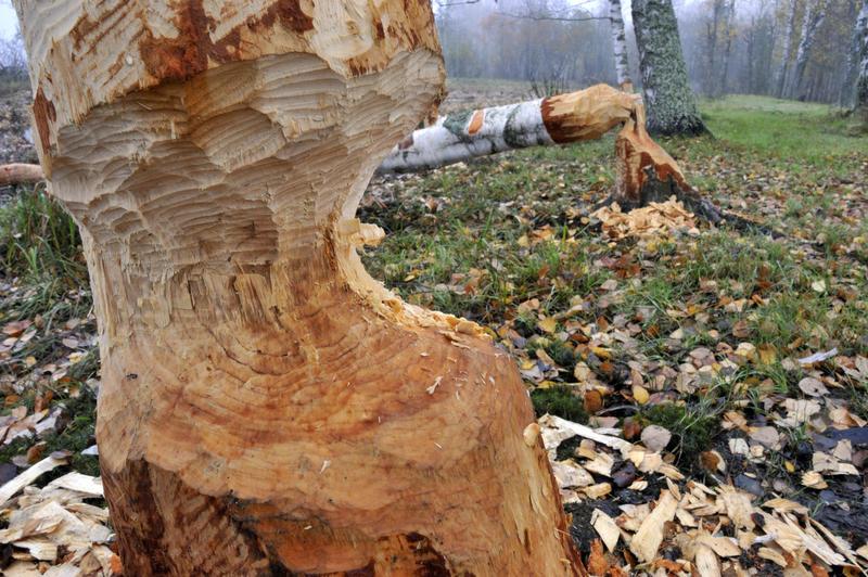 Bilde av bevergnagde bjørketrær
