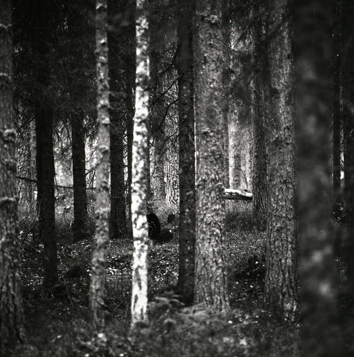 Mellan träden i skogen skymtar en spelande tjäder fram, våren 1975.