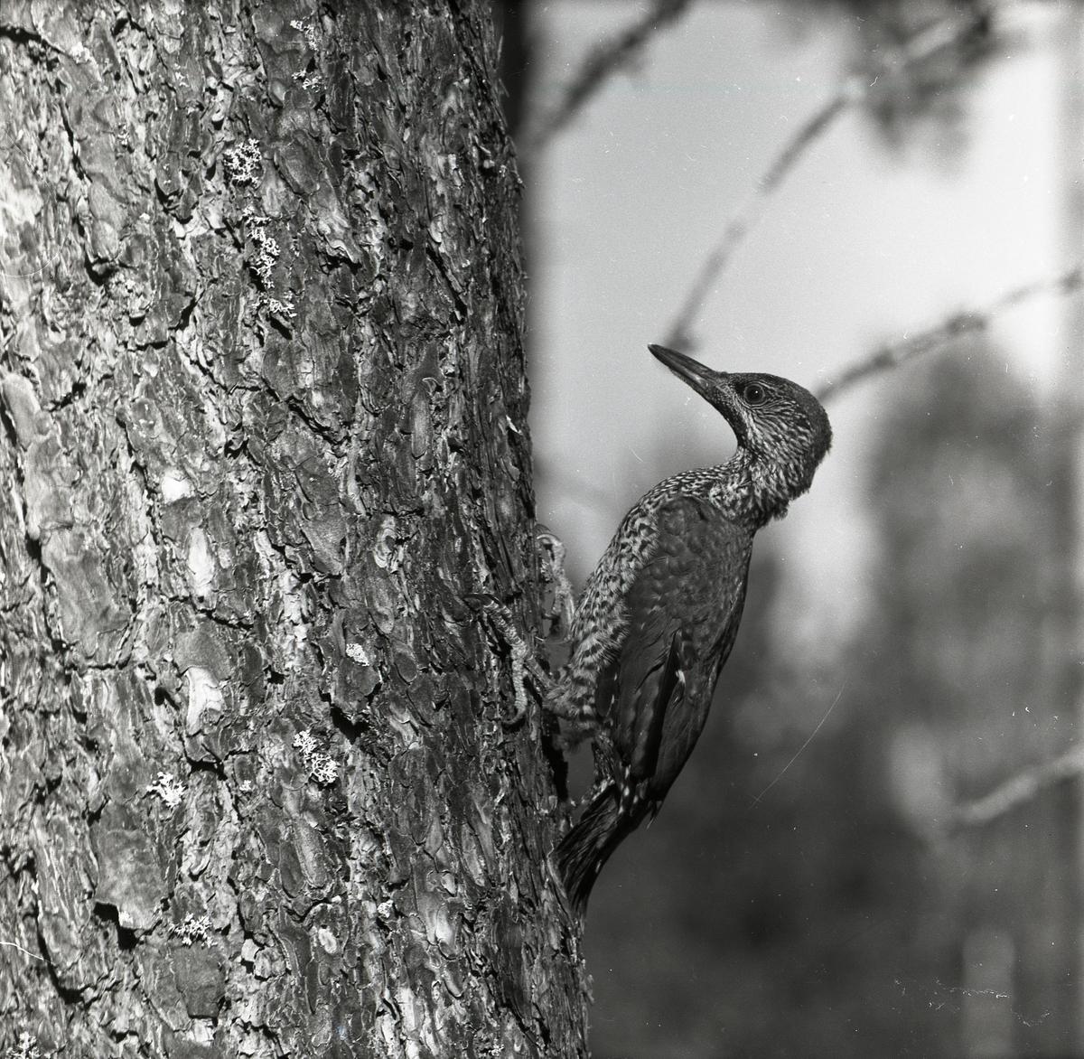En gröngöling på en trädstam vid Vij fäbod i Trönö den 30 juni 1957.