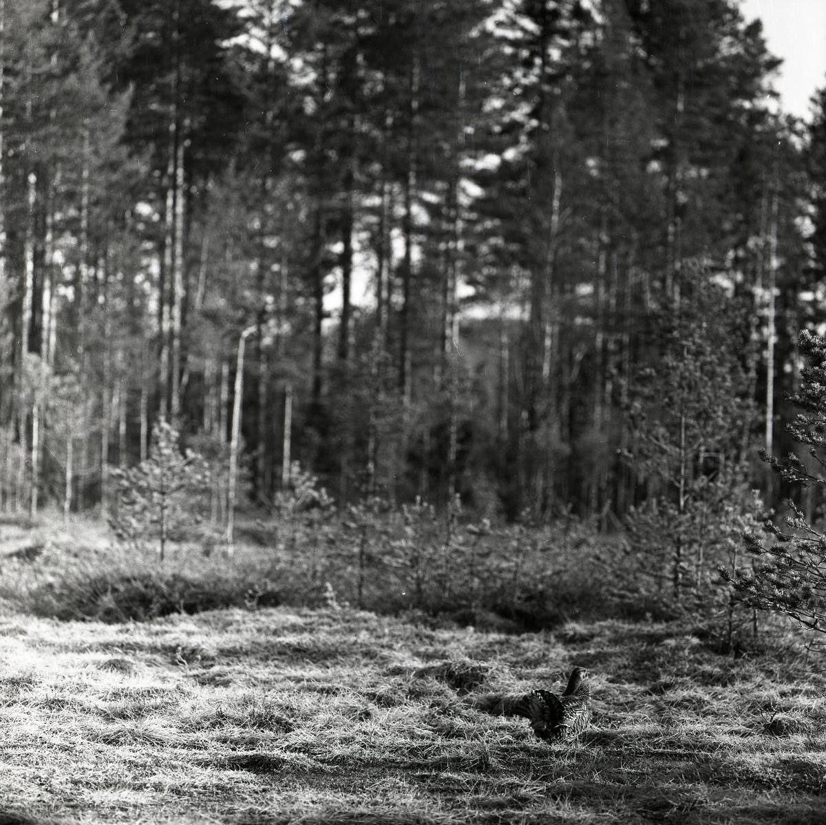 En orrhöna med utspridda stjärtfjädrar står i ett skogsbryn.