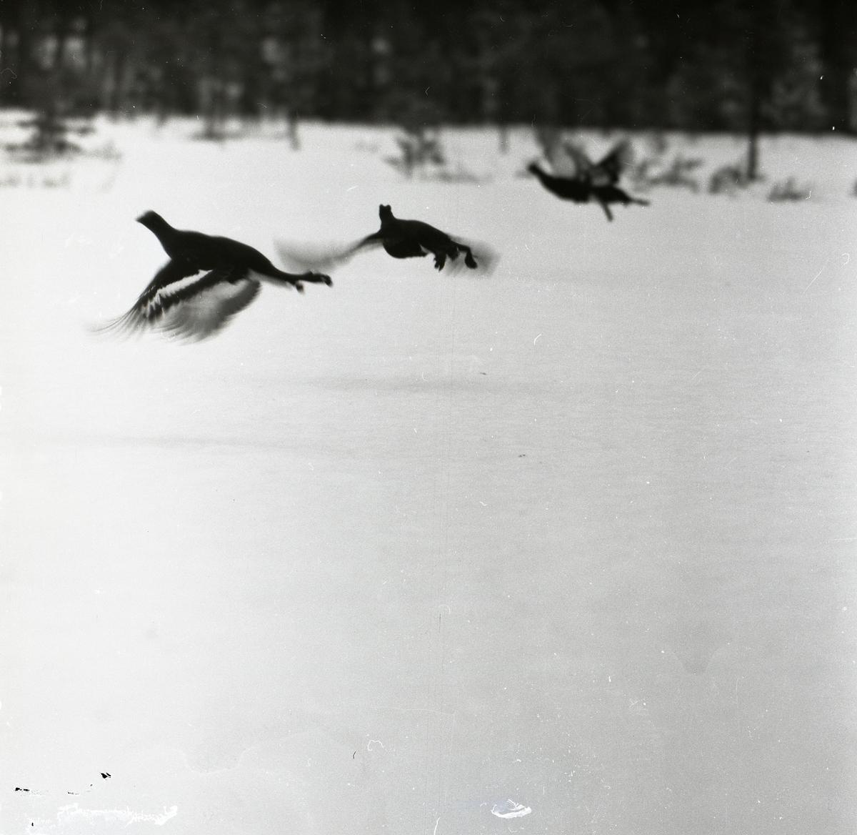 Tre flygande orrar intill skogsbrynet, april 1955.