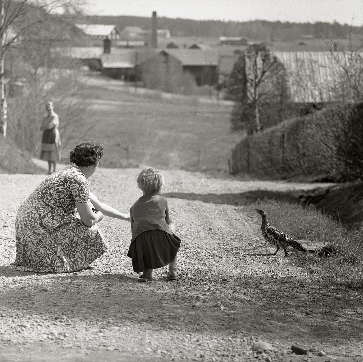 En kvinna och ett barn sitter på huk på en grusväg och tittar på en tjäderhöna, Krylbo 16 maj 1960.