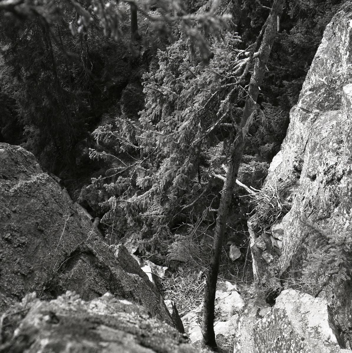 Korpbo på klippa bland buskar och träd, Njutånger 23 april 1953.