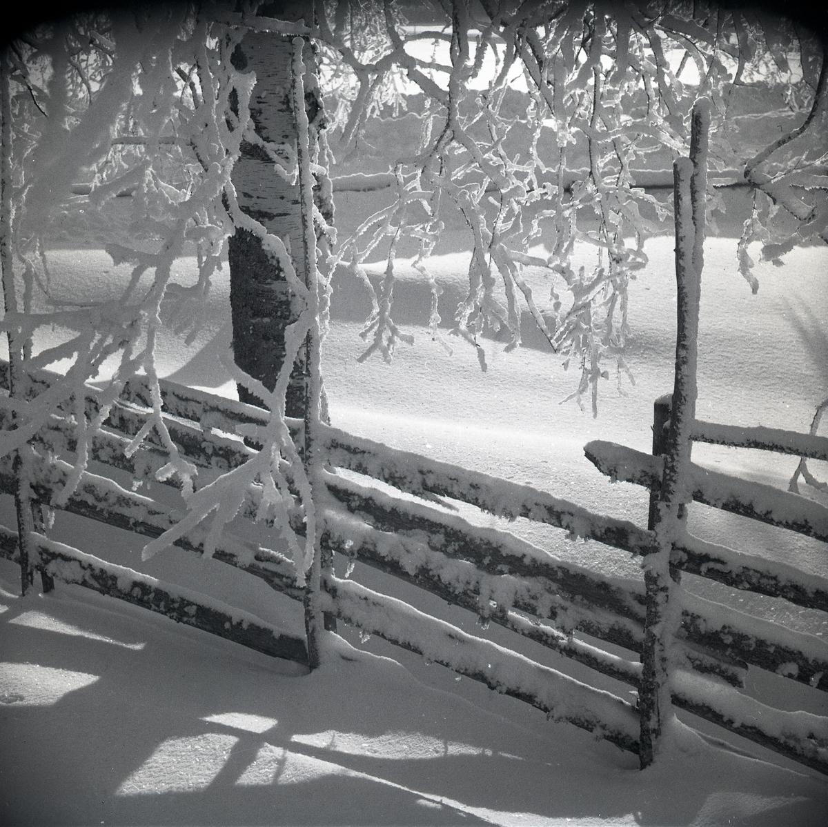 Snötäckt gärdesgård samt björk med rimfrost i motljus, januari 1948.