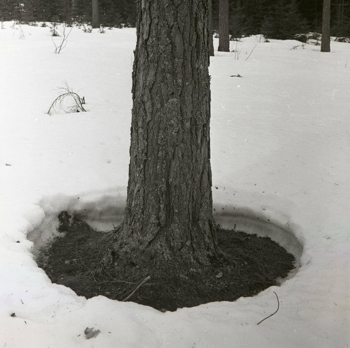 Runt en tall har snön tinat bort och bildat en ring, 1962.