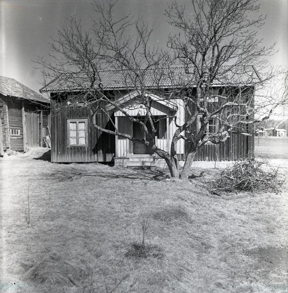 Ett beskuret träd framför Edvins i Ulva, 1950.