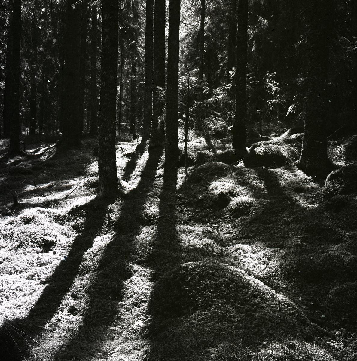 En granskog som kastar skuggor i skogen, 1965.