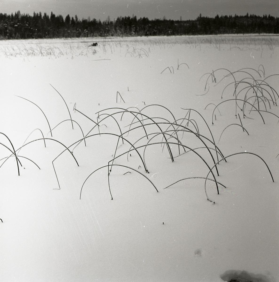 Böjda vasstrån sticker upp ur snön på Stråsjön, december 1964.