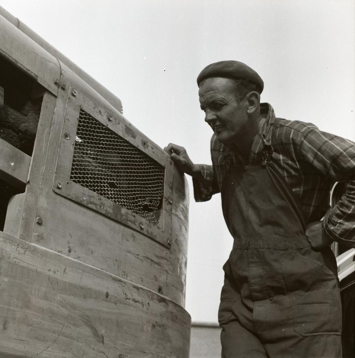En man tittar på sädesärlorna som har byggt bo i en truck vid midnäsfabriken, 13 juli 1955.