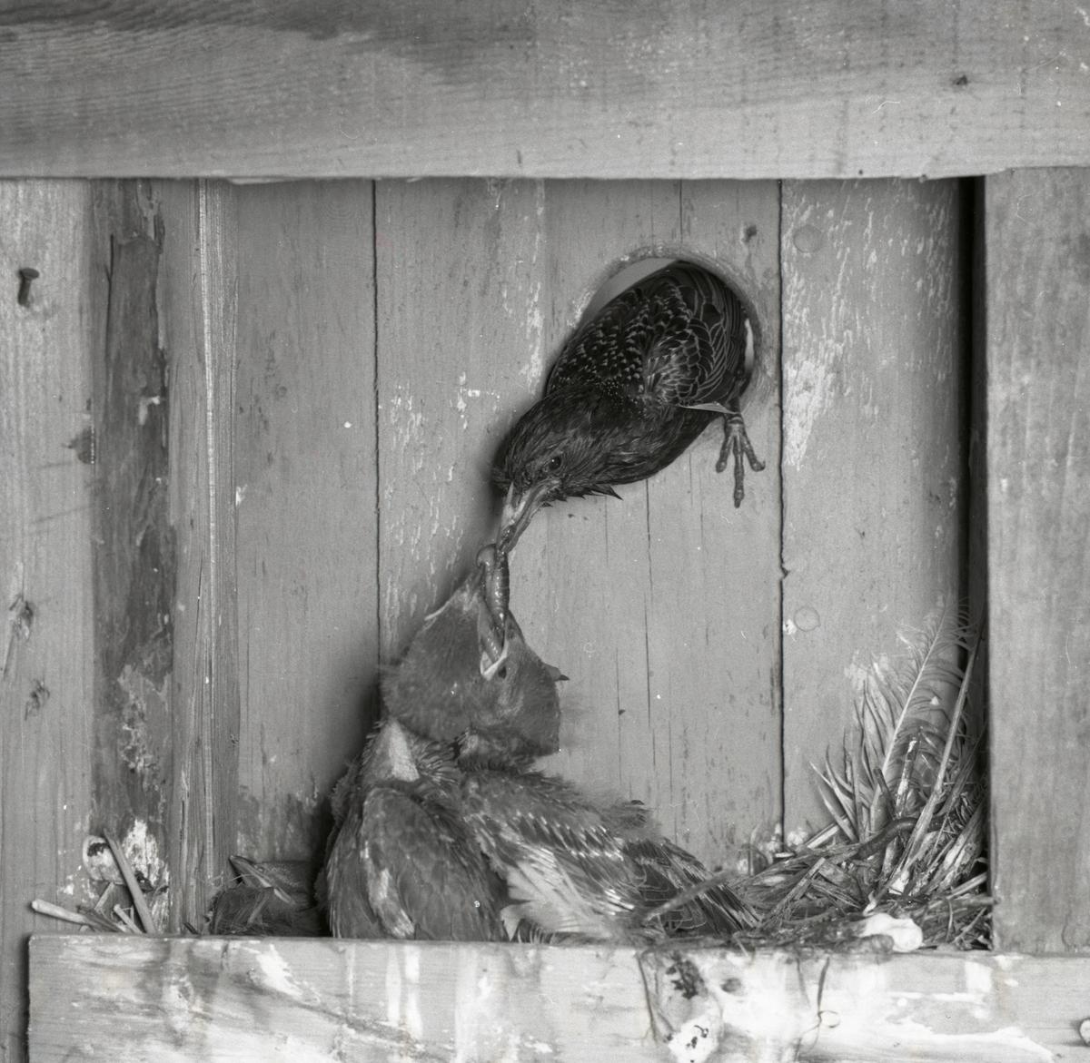 En stare tittar in i en fågelholk och matar sina ungar.