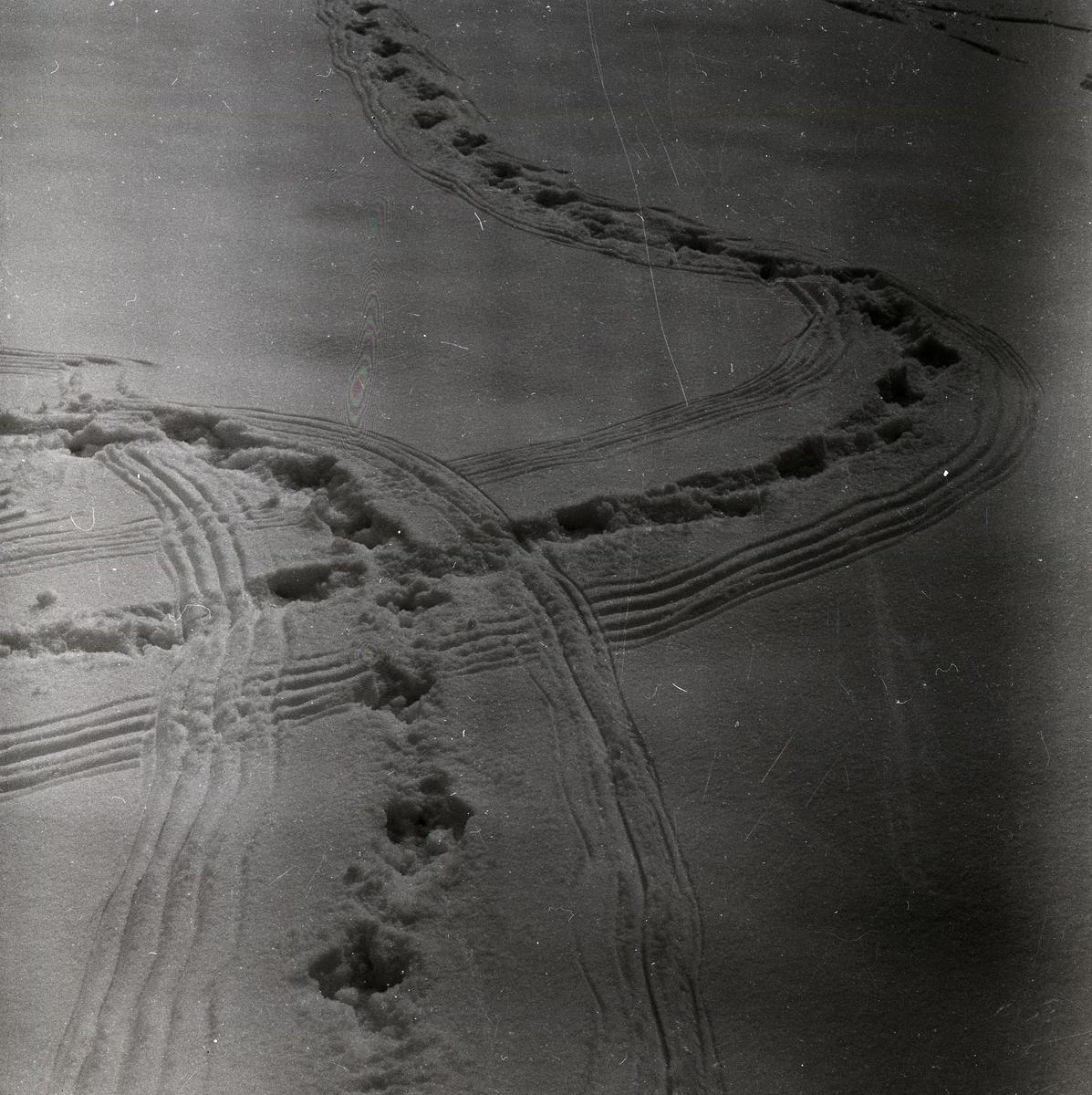 Spår i snön efter spelande tjädrar, 10 april 1956.