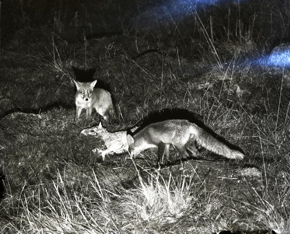 Två rävar intill ett fårkadaver i Broddens hage, 22-23 augusti 1956.