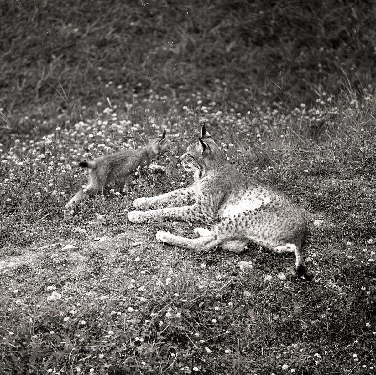 Ett lodjur med unge ligger i gräset vid Frostavallen, juli 1963.