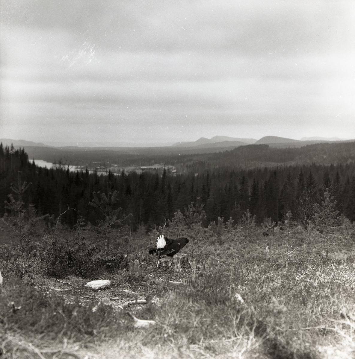 En tjäder står på en stubbe i skogen och har utsikt över bergen.