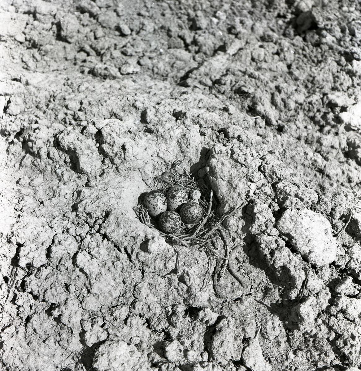 Ett fågelbo med ägg från en tofsvipa, 1950.