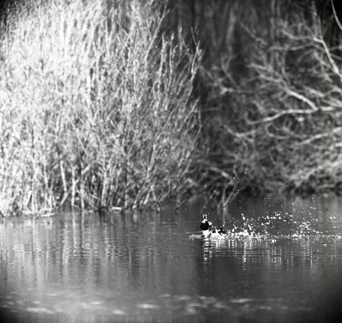 En knipa simmar i en å och sprattar med vingarna så vattnets skvätter runt fågeln, 19-23 april 1960.