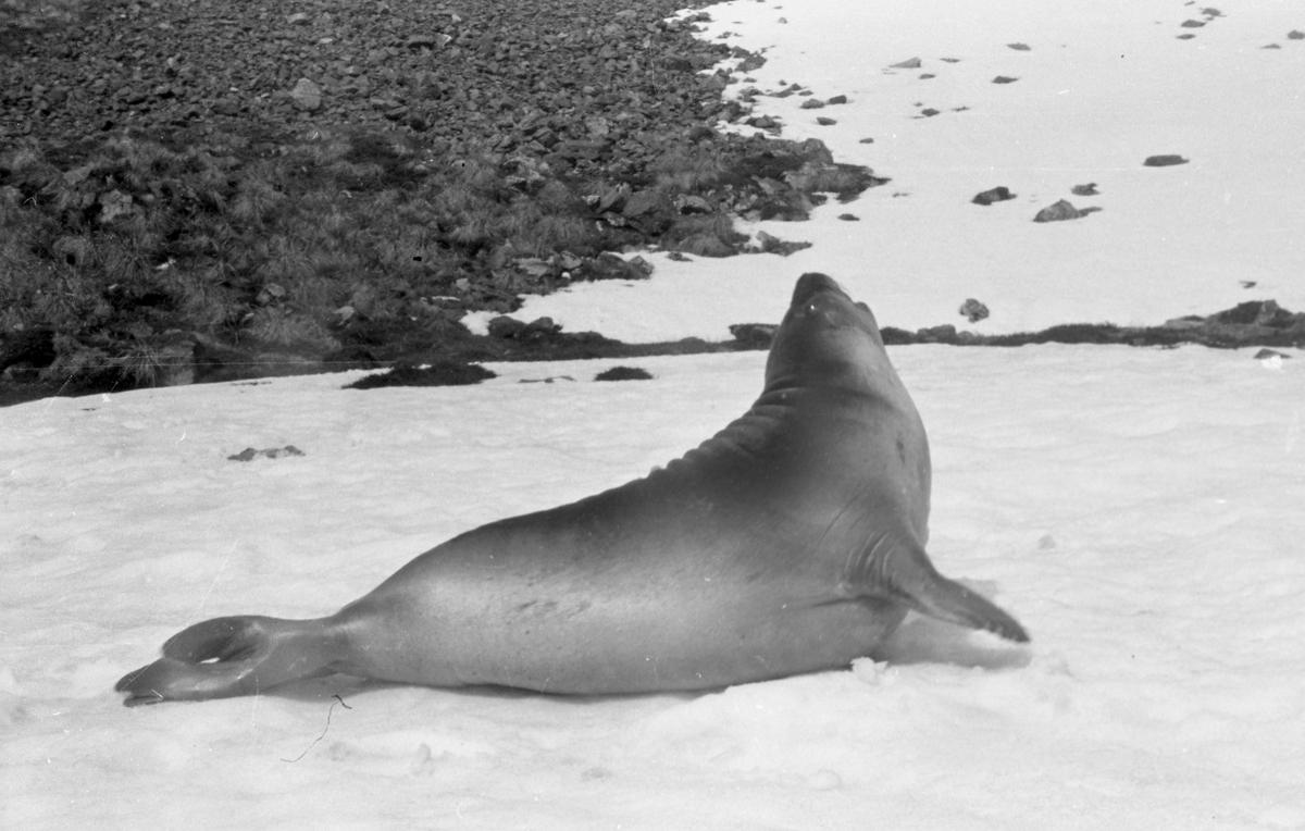 Sjøelefant i profil mot snøen. Landskap. Suderøy på vei til fangstfeltet.